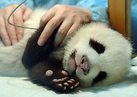PANDA COMPLEX: CHENGDU: CHINA.Panda nurse Jiao Yu Hang, checks the pemperature of one of this years four panda cubs at the Chengdu Panda Breeding Complex.  The specially designed Complex is a world's first with facilities for upto 12 mothers, a nursery, a breeding rooman artificial insemination facility and quarters for  staff.  The panda's recieve 24 hour supervision..Photo by Richard Jones/SINOPIX.©sinopix