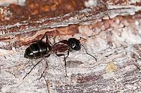 Schwarze Rossameise, Riesen-Holzameise, Riesenholzmeise, Holzameise, Camponotus herculeanus, Rossameise, Roßameise, Ross-Ameise, Roß-Ameise, giant carpenter ant