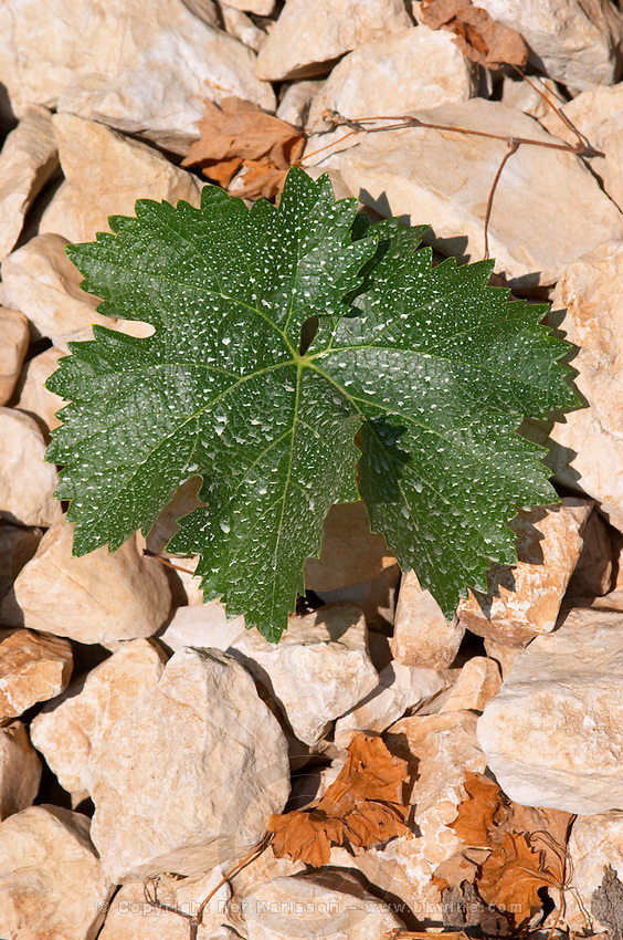 Vine leaf. Lime stone limestone based very white soil, very much stones pebbles rocks. Zilavka grape variety. One of their best vineyards with very poor soil on a hilltop mountain near Citluk and Zitomislic. Vinarija Citluk winery in Citluk near Mostar, part of Hercegovina Vino, Mostar. Federation Bosne i Hercegovine. Bosnia Herzegovina, Europe.