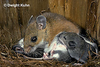 MU28-057a  White-footed Mouse Mother with young - 12 day old young - Peromyscus leucopus