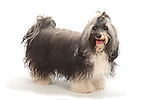 Havanese Dog - Show Pose, standing, Studio, White Background