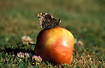 Red Admiral Butterfly, Vanessa atalanta, adult on apple, showing underside of wings.United Kingdom....