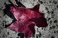 A single red leaf on the rough background of a concrete sidewalk - fall comes to the neighborhood.