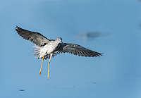 Lesser Yellowlegs landing in water at Merritt Island