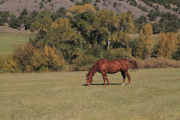 Horse grazing in a pasture near Telluride, Colorado.