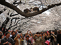 April 6, 2012, Tokyo, Japan - Shutter-happy cherry blossoms viewers take pictures of two cats on the branch at Tokyos Ueno Park on Friday, April 6, 2012. It's springtime in Tokyo and time to stop and appreciate fragile pale pink blossoms in full bloom all over the nation's capital. Last year, Japan's most popular national passtime was somewhat muted due to the March 11 earthquake and tsunami. But this year, the centuries-old tradition has come back with revelers eager to use the occasion as a way to break from a year marked by the crisis and disaster. (Photo by Natsuki Sakai/AFLO) AYF -mis-