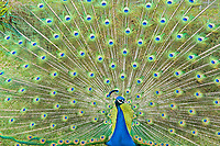 Indian peafowl, common peafowl, or blue peafowl, Pavo cristatus, adult male, peacock, in full display of ornate feathers during breeding season, captive