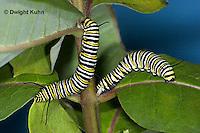 MO02-502z  Monarch emerging from chrysalis - Danaus plexipuss