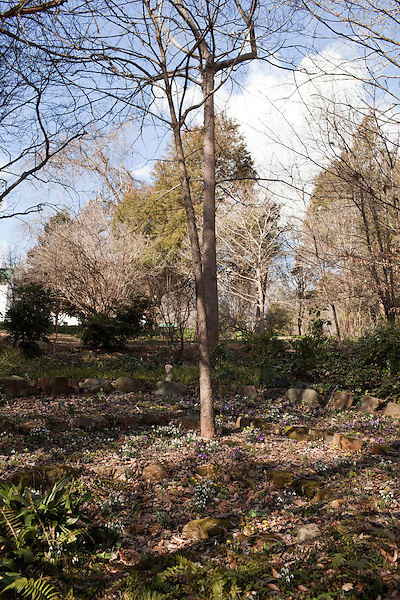 February 2, 2012. Hillsborough, NC.. A the stone amphitheater on the edge of the woods, many colors of bulbs bolo, under the trees..  Nancy Goodwin, who used to run a mail order nursery for rare bulbs, has now preserved her gardens, which in winter, have thousands of blooming flowers and plants, including many rare species which she has cultivated and planted from seeds.