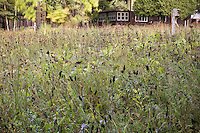 Meadow lawn substitute in autumn with seed heads of native plants, Astragalus canadensis (Canadian milk vetch) and Echinacea pallida (coneflower) with grasses Sideoats grama and Indiangrass; Neil Diboll garden Wisconsin, Prairie Nursery