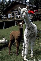 Alpacas on a farm