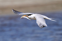 Royal Tern with fish in flight