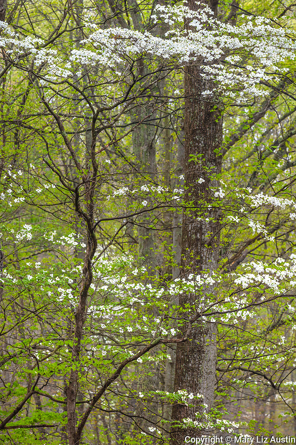 Brown County, Indiana: Flowering dogwood (Cornus florida) in a spring hardwood forest, Brown County State Park