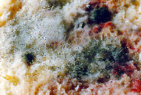 MOLD<br /> Growing On Slice Of Bread