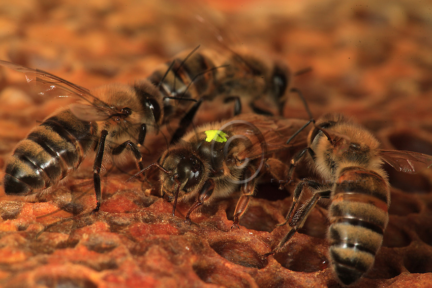 A queen moves on a frame with her daughters looking for honey. Her head has developed madibles. Her thorax is larger than that of ordinary bees and the abdomen, which contains fully developed genital organs, is very developed. It can double in size during the laying period..