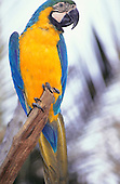 Iguassu National Park, Brazil. Blue and yellow macaw; Arara-canindé (Ara ararauna).