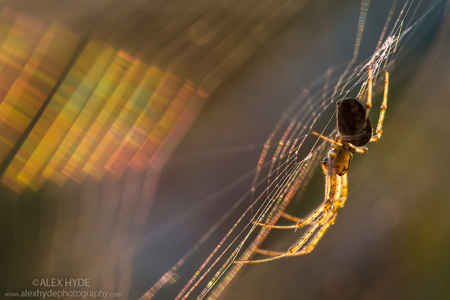 Longjawed Orbweaver {Metellina segmentata} in web at sunset. Seconds before the sun dipped below the horizon, the low golden light light up the translucent body of this spider whilst the silk of its web refracted the light into a rainbow of coloured bands. Dunwich Heath, Suffolk, UK. September. Equipment: Canon 5D MK III, Canon 100mm  IS Macro Lens. Exposure settings: f6.3, 1/400 sec, ISO 1250