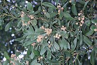 Blackwood Acacia melanoxylon Height to 30m. Evergreen , fast-growing tree. Leaves are narrow-oval. Flowers  are globose and yellow, borne in long heads. Native to eastern Australia but widely planted elsewhere, mainly for timber.