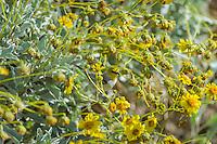 Verdin (Auriparus flaviceps) on Brittlebush or brittlebrush (Encelia farinosa) plant.  Sonoran Desert, CA.  February.