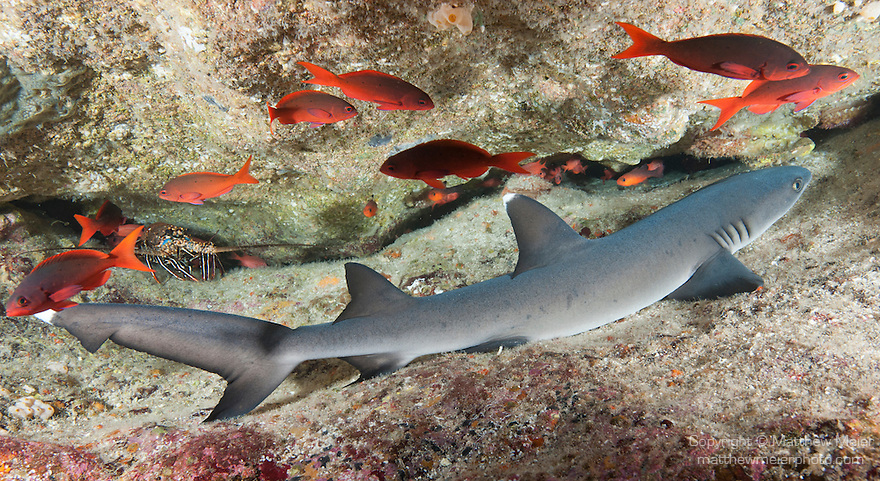 Cocos Island, Costa Rica; a Whitetip Reef Shark (Triaenodon obesus) resting under an overhang in the rocky reef, surrounded by Pacific Creolefish (Paranthias colonus), during the day