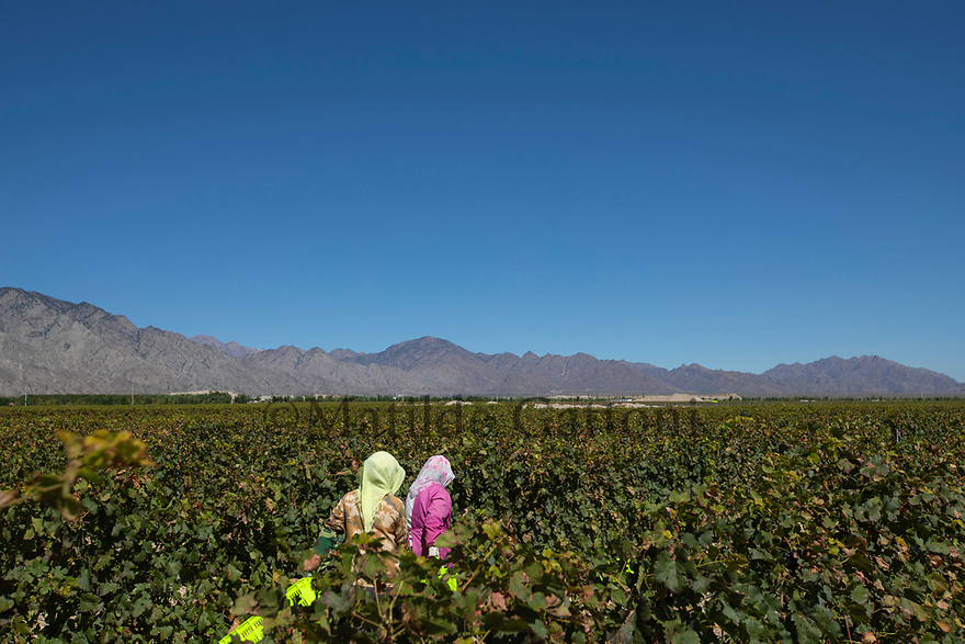 China - Ningxia - Workers harvest the grapes in one of the largest vineyards.<br />