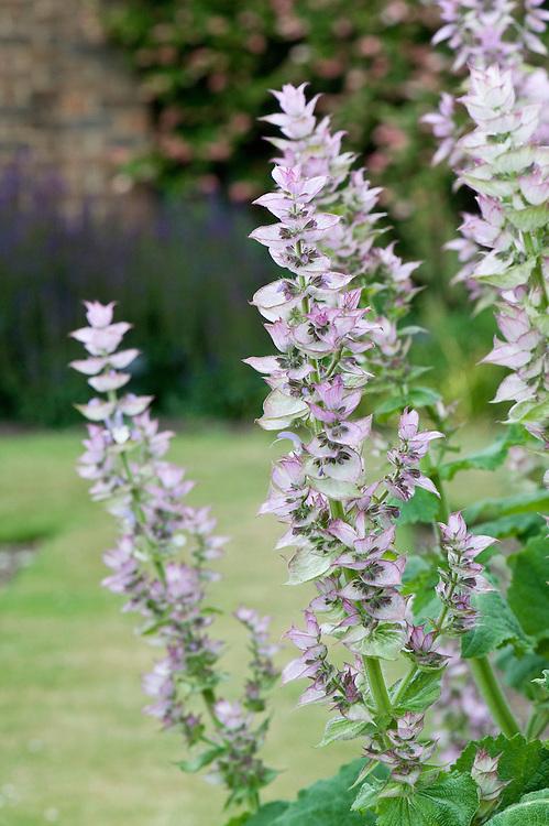 Salvia sclarea 'Clary', mid June.