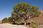 Shoe tree (cottonwood), Middle Gate, Nevada, along U.S. 50.