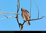 Red-tailed Hawk, Bosque del Apache Wildlife Refuge, New Mexico