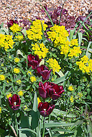 Euphorbia polychroma, Tulipa (blood red spring flowering bulbs Tulips)