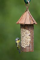 Blaumeise, an der Vogelfütterung, Erdnüsse, Blau-Meise, Meise, Cyanistes caeruleus, Parus caeruleus, blue tit. Ganzjahresfütterung, Vögel füttern im ganzen Jahr, Vogelfutter der Firma GEVO, Erdnussstation, Erdnußstation