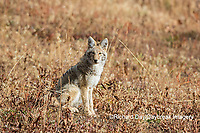 01864-03417 Coyote (Canis latrans) Yellowstone National Park, WY