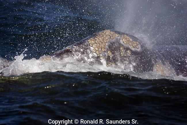 WHALE SPRAYING in GUERRO NEGRO