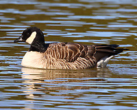 Adult cackling goose, the smallest version of Canada geese
