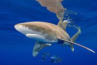 oceanic whitetip shark, Carcharhinus longimanus, with pilot fish, Naucrates ductor, off the Kona Coast of Hawaii Island (the Big Island), Hawaiian Islands (Central Pacific Ocean)