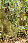 Cockscomb Basin Wildlife Sanctuary, Belize, Central America; Kaway swamp trees (Pterocarpus officinalis) along the Wari Loop of the Cockscomb Jaguar Preserve , Copyright © Matthew Meier, matthewmeierphoto.com All Rights Reserved
