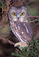 Saw-whet Owl in Hammonassett State Park, Connecticut