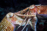A pair of Pharaoh cuttlefish, Sepia pharaonis, copulating. Within minutes of seperating, the female will begin depositing eggs, one at a time, in rocky crevices. During this process the male will maintain close contact witht the female in hopes of preventing competing males from mating with her. Richelieu Rock, Thailand, Andaman Sea, Indian Ocean