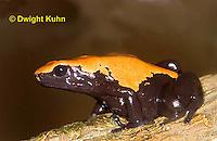 FR24-513z    Splash back Poison Dart Frog, Dendrobates galactonotus or Adelphobates galactonotus, South America.