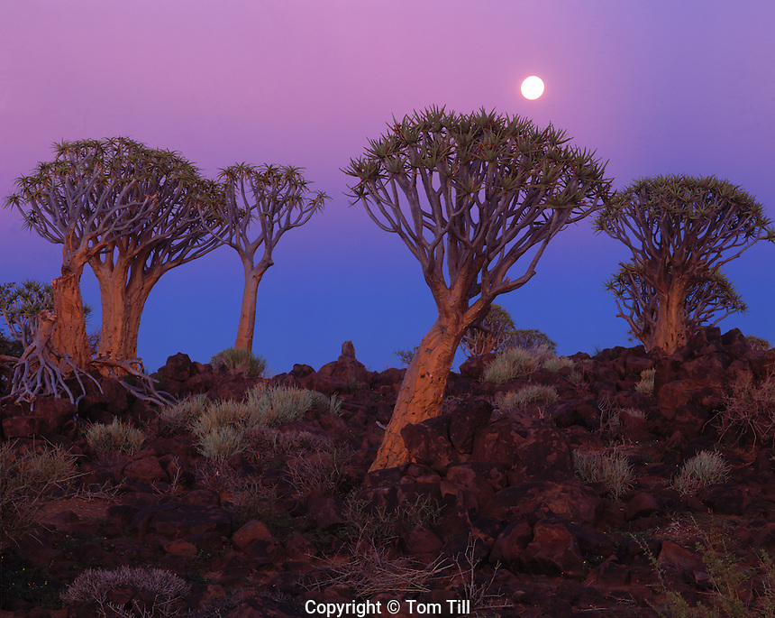 "Moonset, Quiver Tree Forest National Preserve, Namibia, Africa   Also called ""Kookerboom"" tree Aloe Dichotoma"