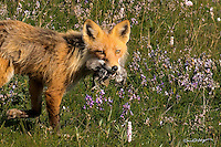 A mother fox brings back the remains of a bird kill to her kits on Alaska's north slope.