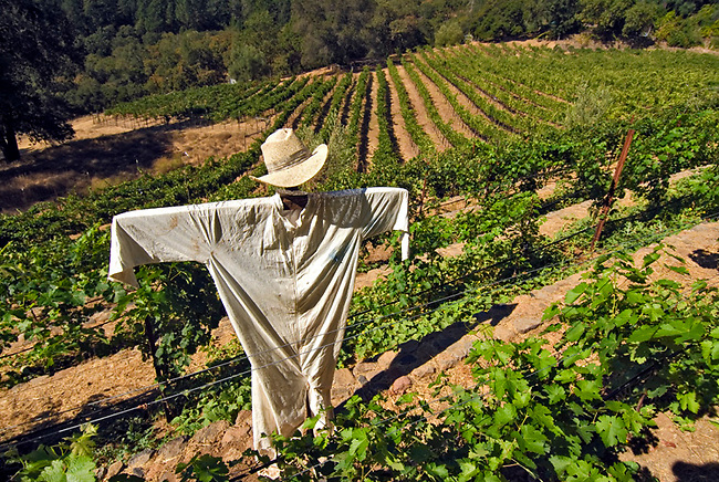 A scarecrow stands in a Spring Mountain vineyard to thwart off birds.