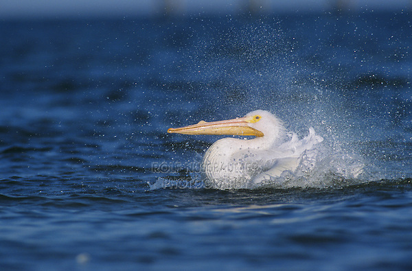 American White Pelican, Pelecanus erythrorhynchos, adult bathing, Rockport, Texas, USA