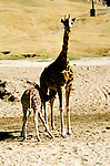 California: San Diego Wild Animal Park, Giraffe, giraffa camelopardalis.  Photo  casdno101.Photo copyright Lee Foster, 510/549-2202, lee@fostertravel.com, www.fostertravel.com.