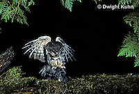 OW08-024p  Saw-whet owl - flying to catch prey mouse - Aegolius acadicus, digitally improved, subject unchanged