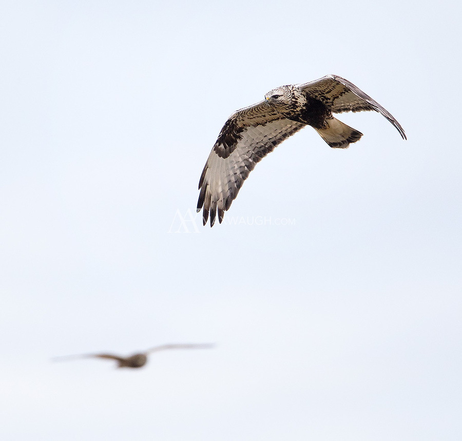 A Rough-legged hawk flies in front of a Short-eared owl in Washington's Skagit Valley.