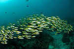 Schooling bluestripe snapper (Lutjanus kasmira) with fusiliers. North Raja Ampat, West Papua, Indonesia