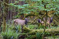 Roosevelt Elk (Cervus elaphus roosevelti) cows in Olympic National Park temperate rain forest, WA.  May.