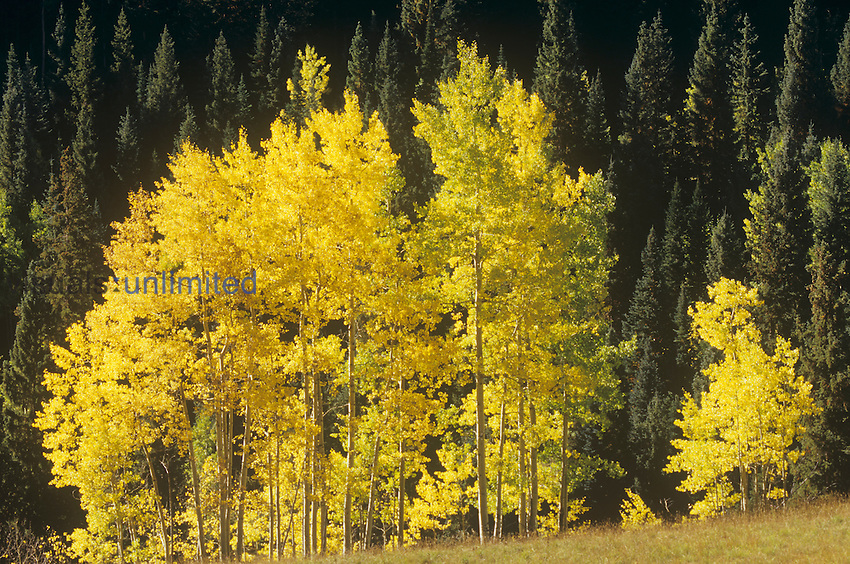 Fall colors of Quaking Aspens ,Populus tremuloides,, with an evergreen coniferous forest in the background, White River National Forest, Rocky Mountains, Colorado, USA.