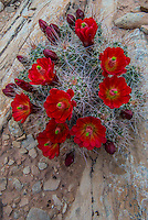 Clarert Cup Cactus (Echinocereus triglochidiatus) in Arches National Park Utah.