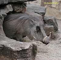0906-0803  Desert Warthog, Phacochoerus aethiopicus  © David Kuhn/Dwight Kuhn Photography.